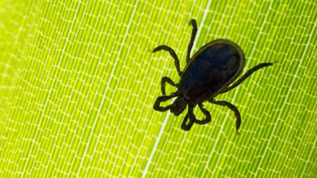 Tropisches Spinnentier - Riesenzecke überwintert erstmals in Deutschland
