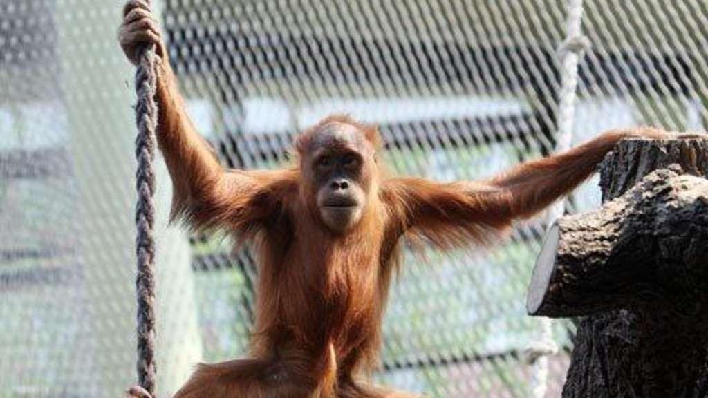 Affen In Der Umzugskiste Narkose