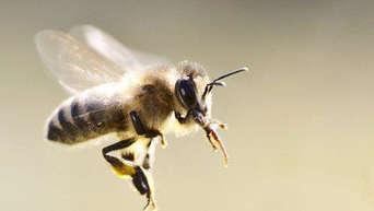 warum sterben bienen