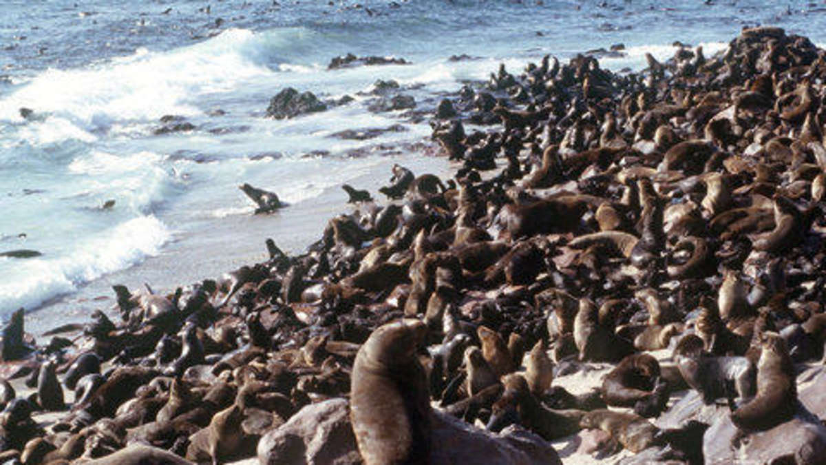 Robben Schlachten