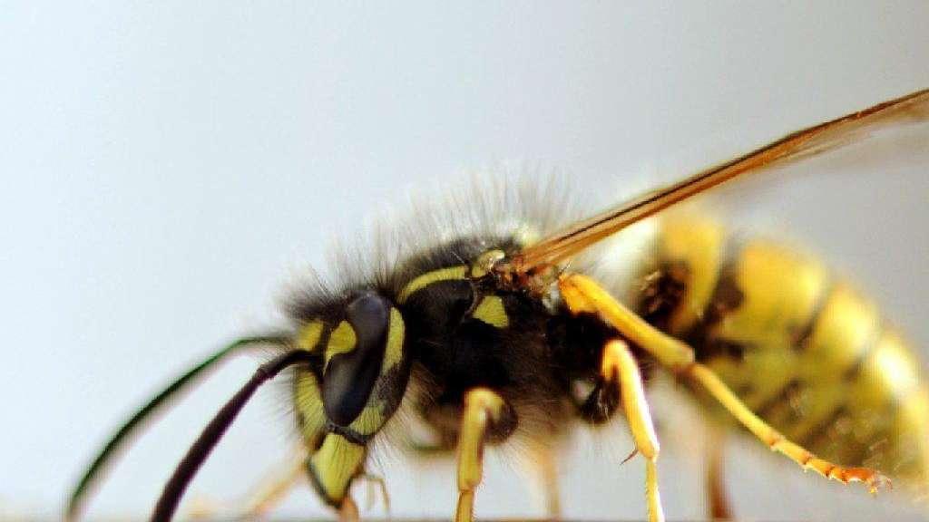 Häufig Wie lassen sich Wespen vertreiben?   Gesundheit YB67