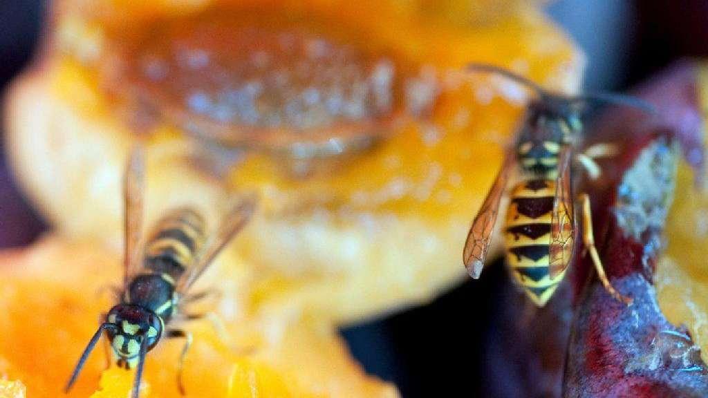 Bienenstich im wespennest
