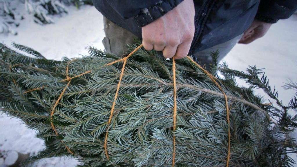 Wo Kommt Der Weihnachtsbaum Her.Wissenswertes Rund Um Den Weihnachtsbaum Geld