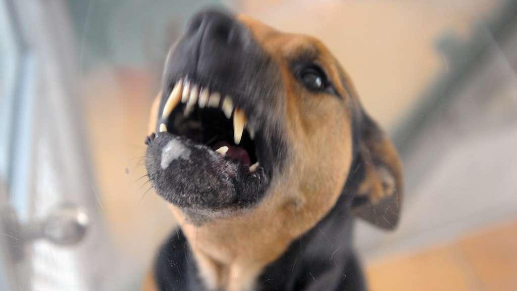 Wie Reagiert Man Auf Einen Aggressiven Hund Tiere