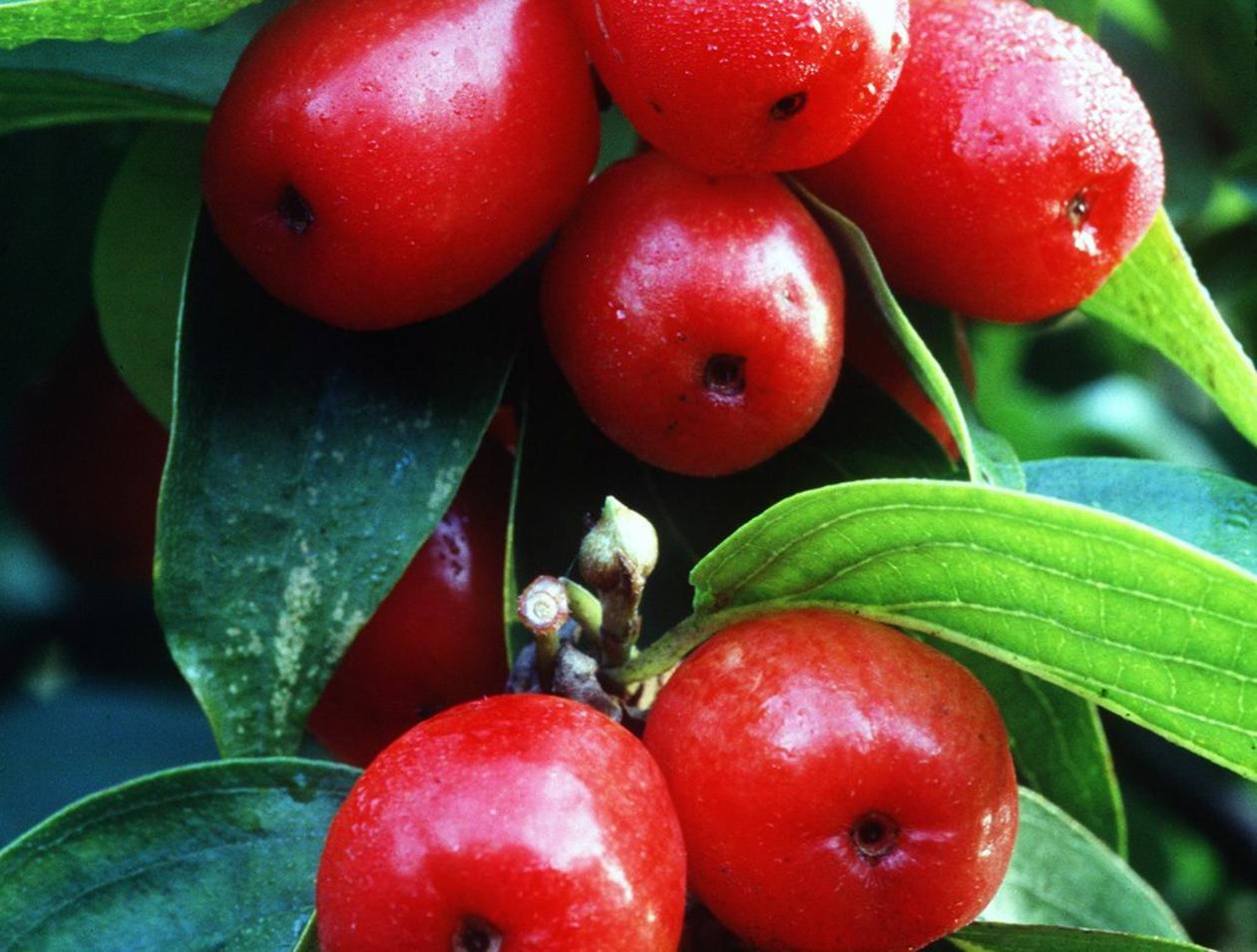 Ganz und zu Extrem Kornelkirschen enthalten viel Vitamin C | Gesundheit #SO_88