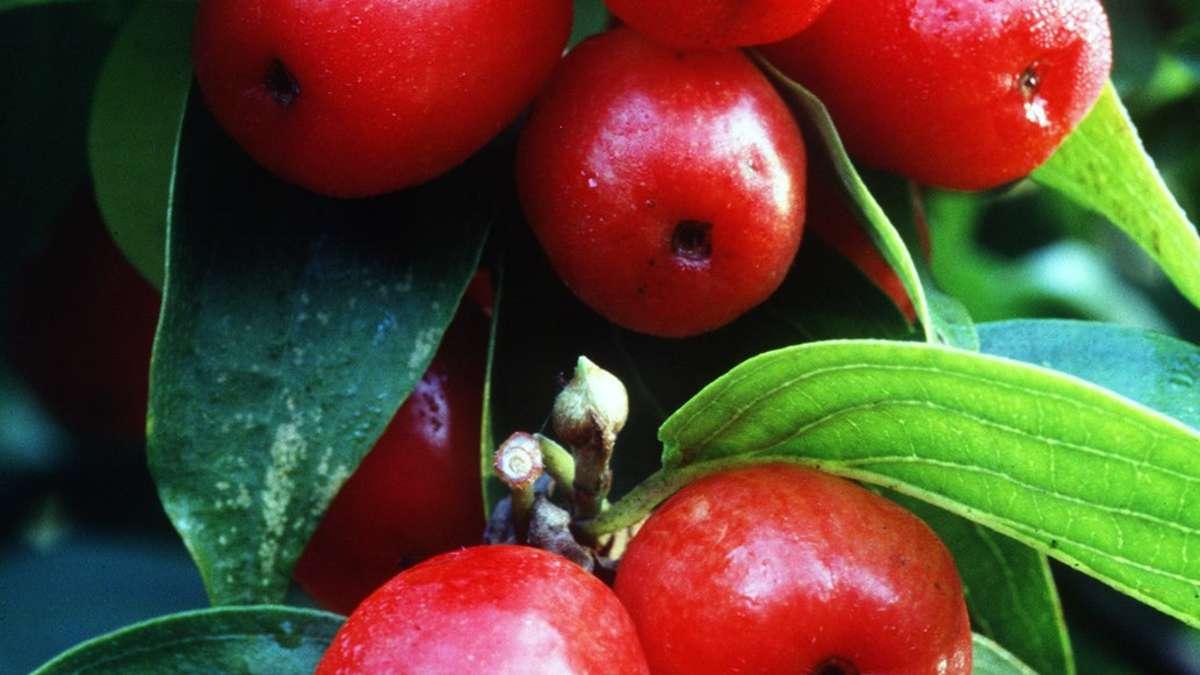 Lieblings Kornelkirschen enthalten viel Vitamin C | Gesundheit #LO_75