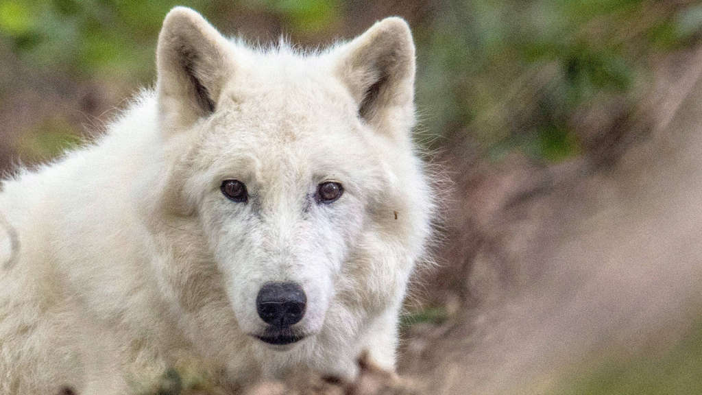 "Wildpark Klein-Auheim trauert um Polarwolf ""Scott"""