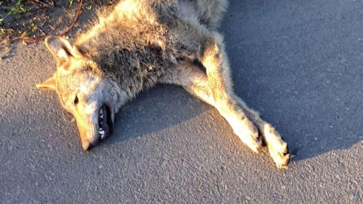 Toter Wolf an Landstraße entdeckt - Experten wollen Herkunft ermitteln