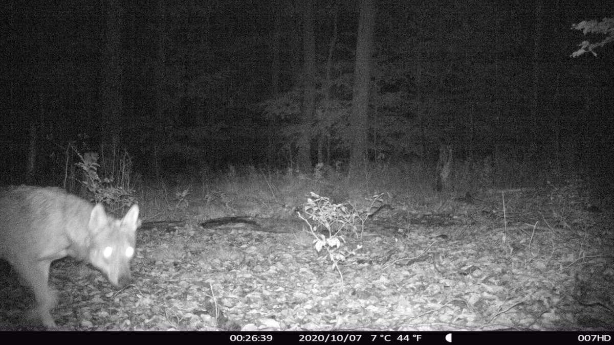Erstmals im Landkreis Darmstadt-Dieburg nachgewiesen: Wolf in Ober-Ramstadt und im Fischbachtal unterwegs
