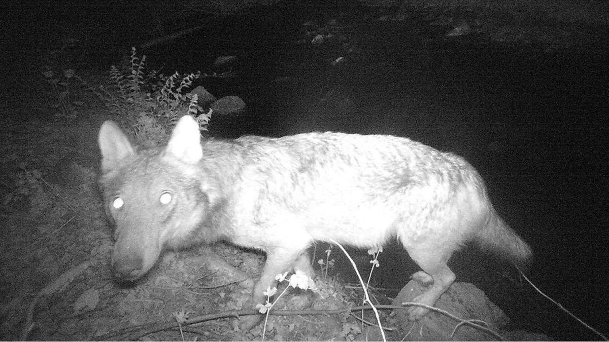 Darmstadt-Dieburg: Wolf aus Südhessen ist tot